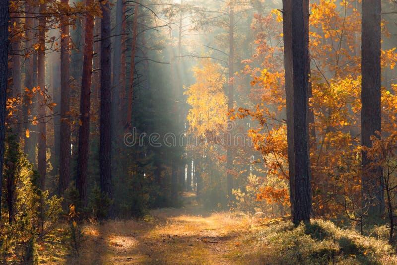 秋天 有阳光的森林森林 在森林秋天风景的道路 秋天背景特写镜头上色常春藤叶子橙红 秋天蓝色长的本质遮蔽天空 免版税库存图片