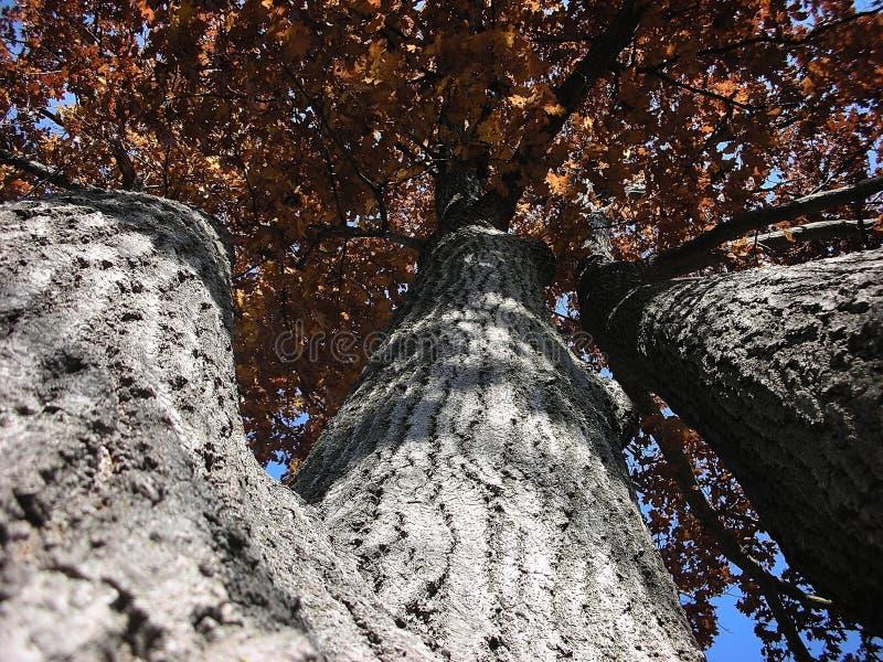 秋天结果三倍橡树 库存图片
