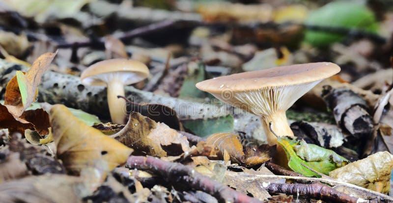 秋天结果的真菌 库存照片