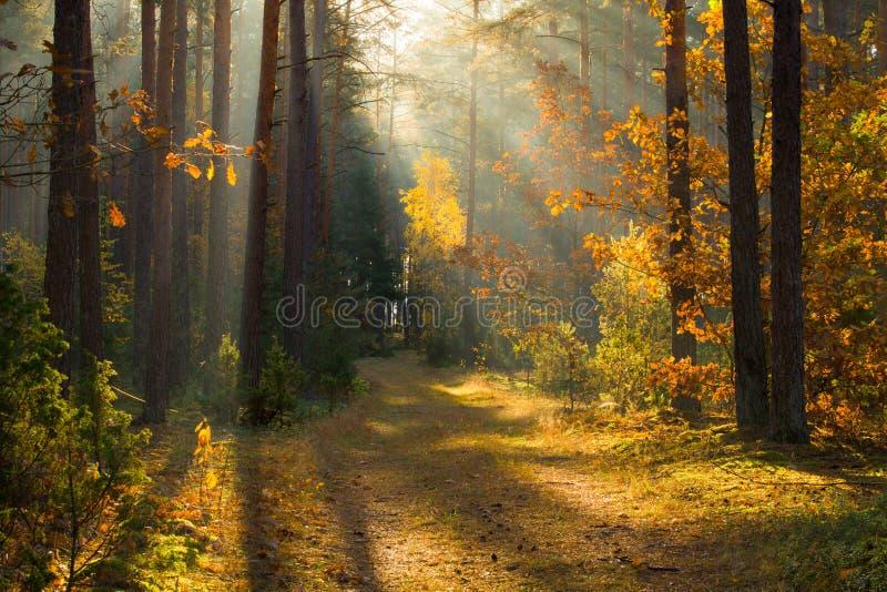 秋天 秋天有阳光的森林森林 道路在森林里通过与生动的五颜六色的叶子的树 美好的秋天背景 免版税图库摄影
