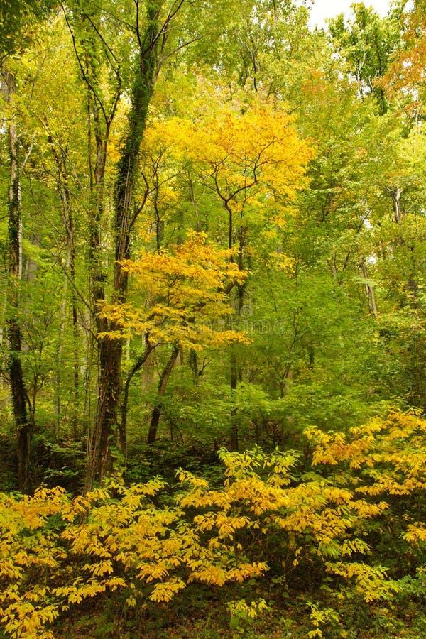 秋天黄色叶子在发烟性山的 免版税库存图片
