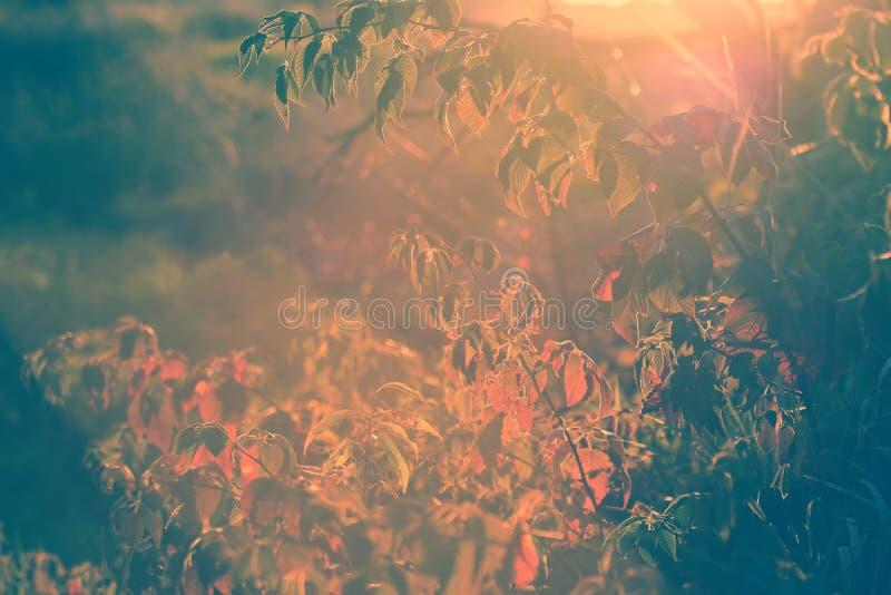 秋天黑莓布什透镜火光-葡萄酒 库存图片