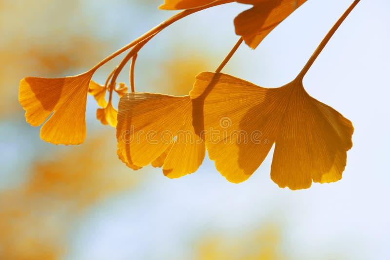 秋天biloba银杏树叶子 库存图片