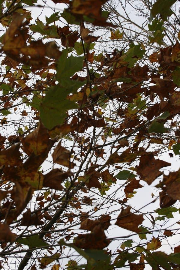 秋天camo树 库存图片