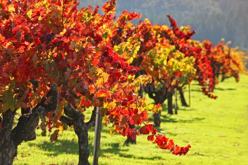 秋天Napa Valley葡萄园 库存图片