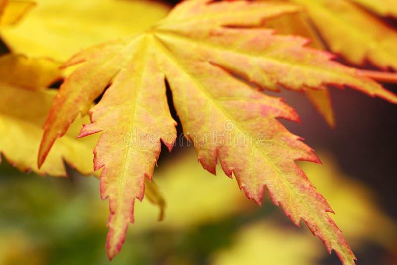秋季关闭留下槭树  图库摄影