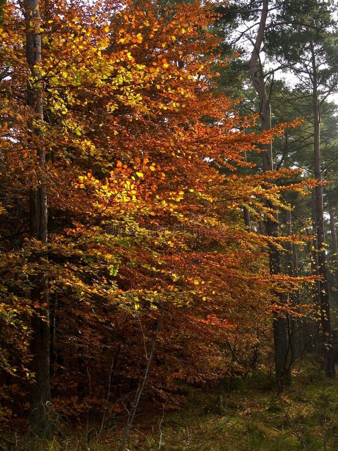 秋季山毛榉树木头 库存图片