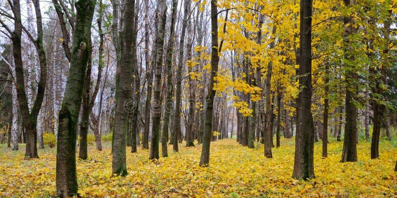 秋季森林 后秋天 覆盖A美丽的秋天森林w 免版税图库摄影