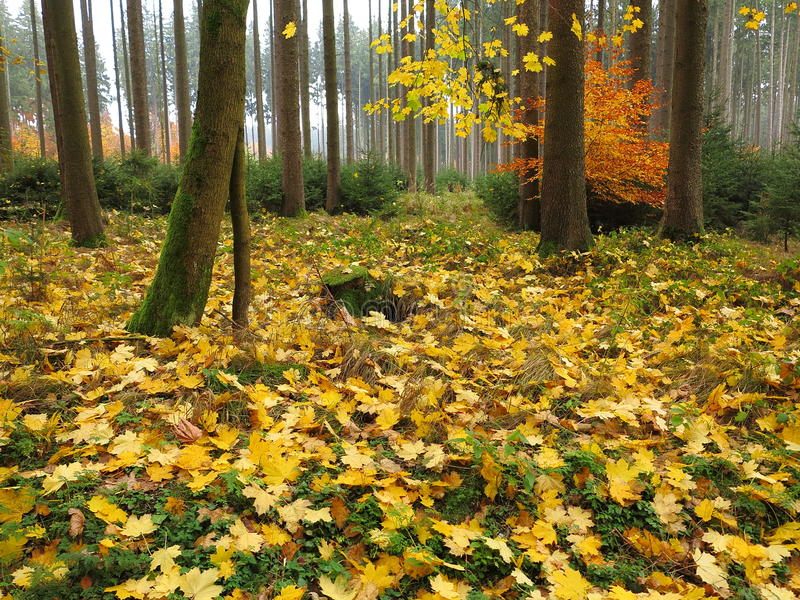 秋季槭树森林地板 免版税库存图片