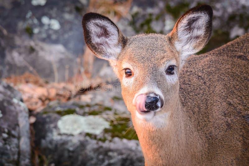 秋季白尾鹿舔鼻唇 图库摄影