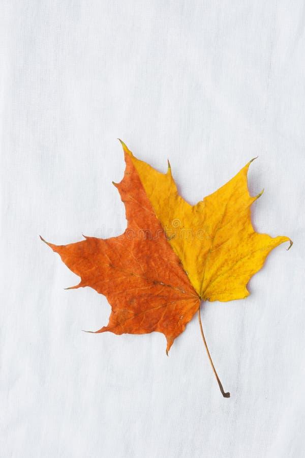 秋季背景 在白色棉花亚麻布织品的一片Duotone橙黄色枫叶 回到学校秋天感恩 图库摄影