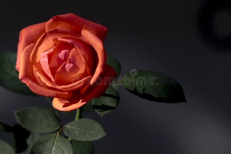 秋季花园单玫瑰的珊瑚橙色 免版税库存照片
