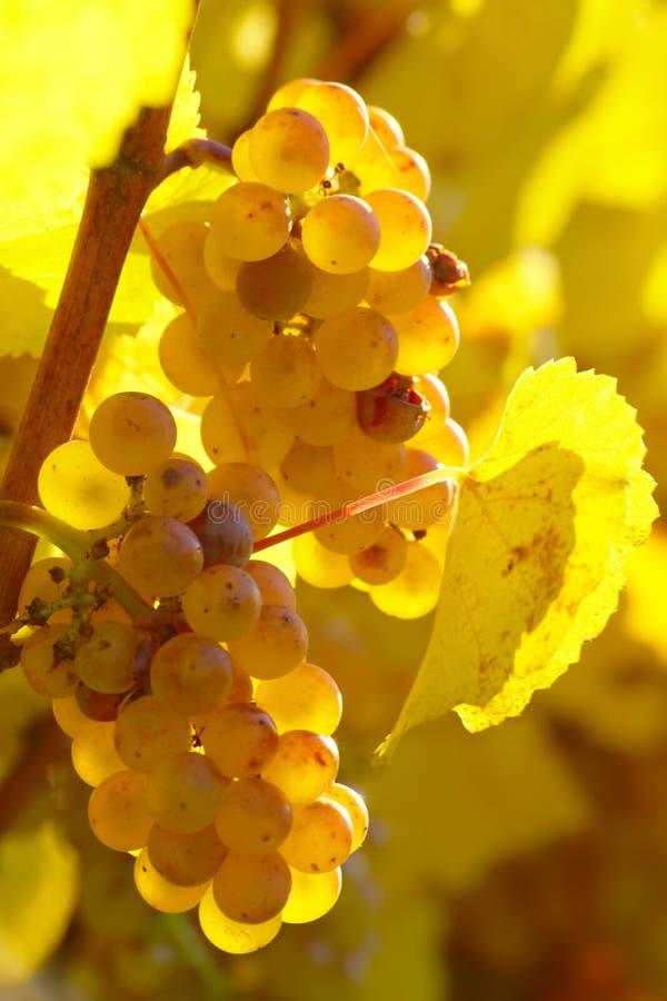秋季葡萄园熟黄葡萄 库存照片