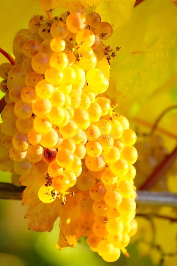 秋季葡萄园熟黄葡萄 免版税库存图片