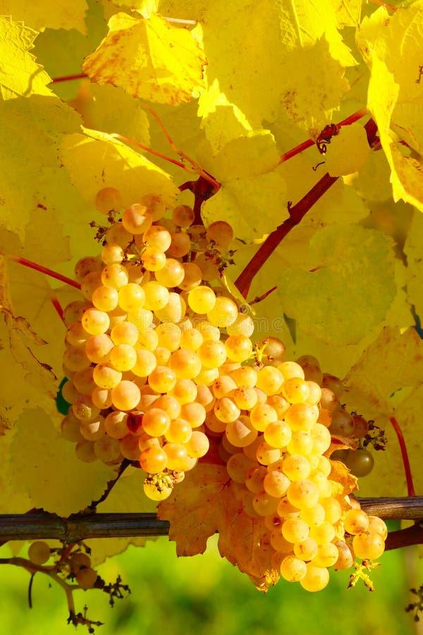 秋季葡萄园熟黄葡萄 库存图片
