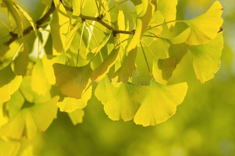 秋季银杏树树叶子背景 库存照片
