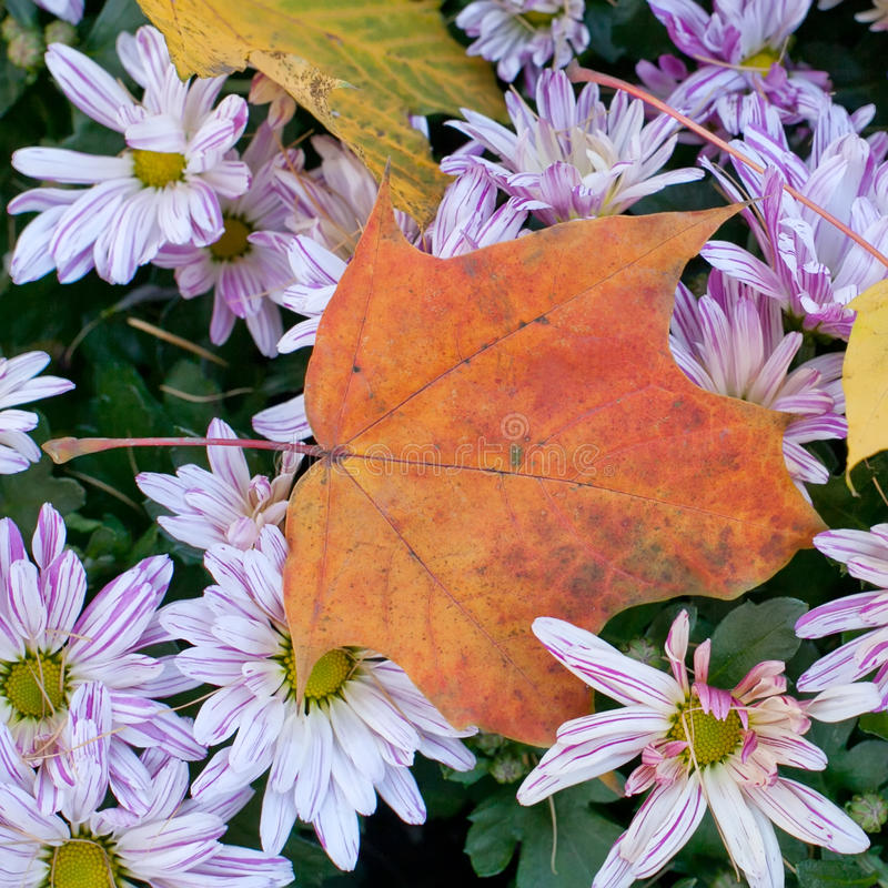 秋季静物画花 菊花 在上面的槭树叶子 延命菊 免版税图库摄影