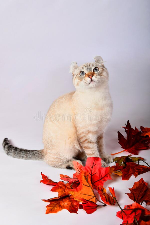 秋季高原林猫9 免版税图库摄影