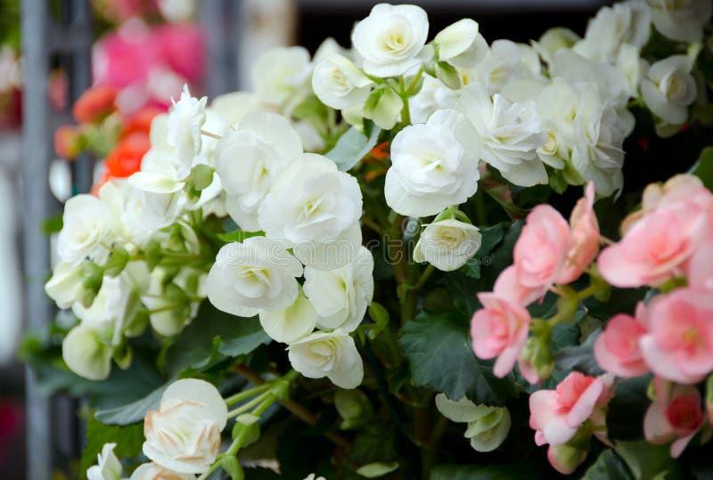 秋海棠在雷德蒙德农夫市场上 免版税库存图片