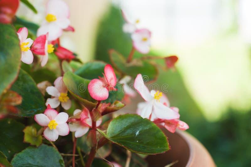 秋海棠花卉生长在一个罐在庭院选择聚焦 免版税库存图片