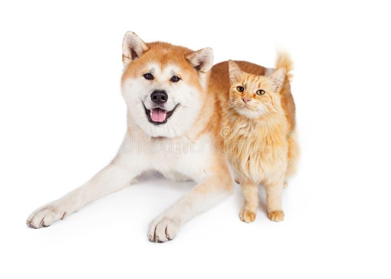 秋田狗和虎斑猫在白色背景 免版税库存图片