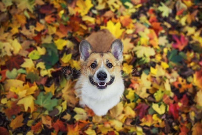 秋色公园里,一只可爱的小狗红色Corgi坐在明亮落落的彩色枫叶和可爱的枫叶背景上 免版税库存照片
