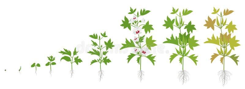 秋葵庄稼阶段  增长的okro植物 收获成长菜 Abelmoschus esculentus o 库存例证