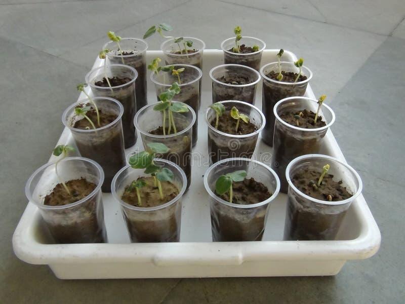 秋葵种子萌芽通过吸墨纸在培养皿的纸技术 库存照片