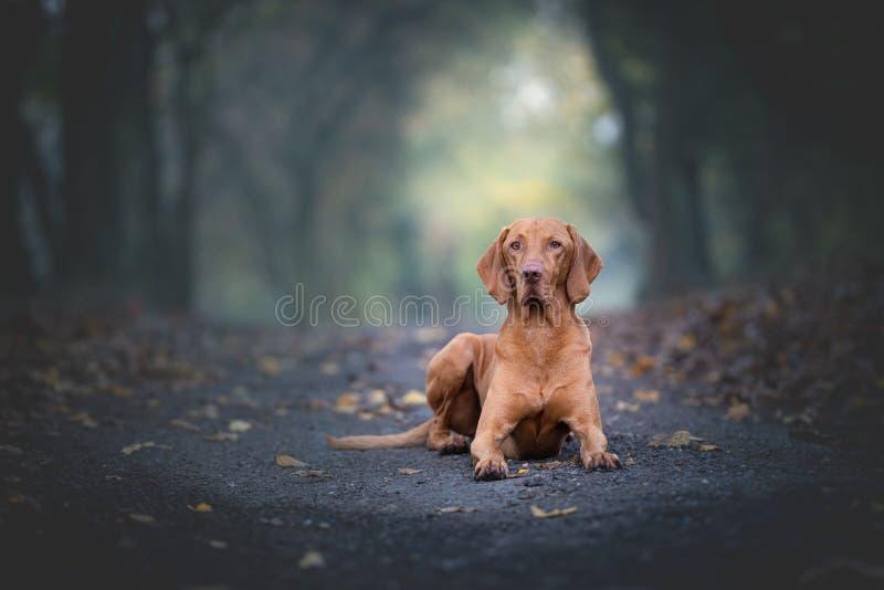 秋雨森林中的匈牙利猎犬 免版税库存照片