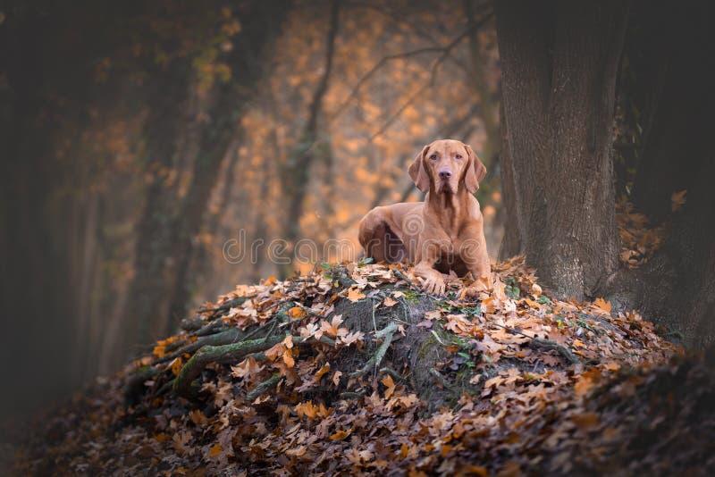 秋雨森林中的匈牙利猎犬 图库摄影