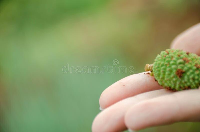 种子在手边 图库摄影