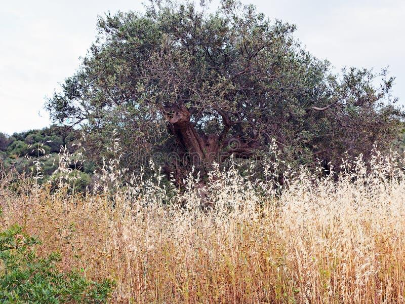 种子干野草和一棵老橄榄树,希腊 免版税库存照片