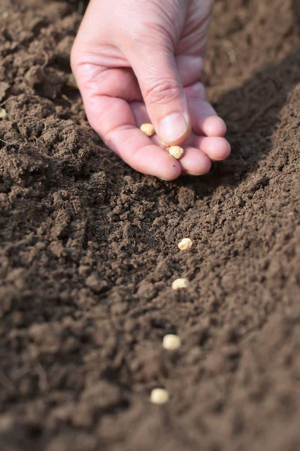 种子春天播种到土壤里。 免版税库存照片