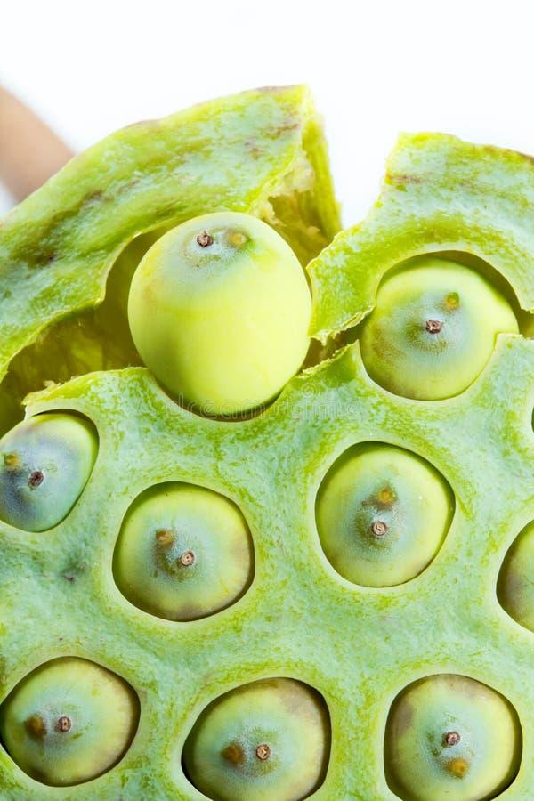 种子莲花种子从荚被去除 图库摄影