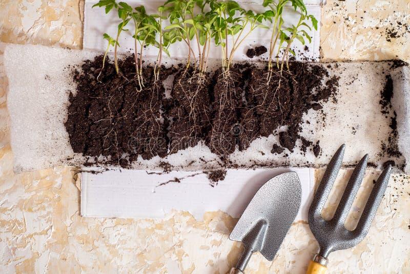 种子萌芽,演变概念序列在土壤的 免版税图库摄影