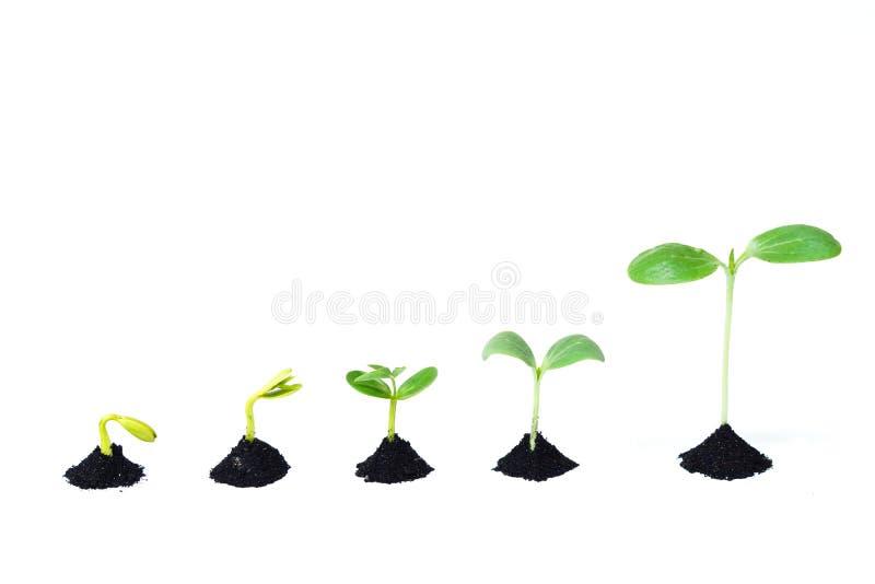 种子萌芽 库存图片
