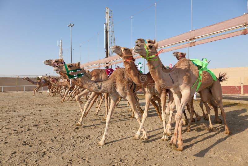 种族骆驼在多哈,卡塔尔 免版税库存图片