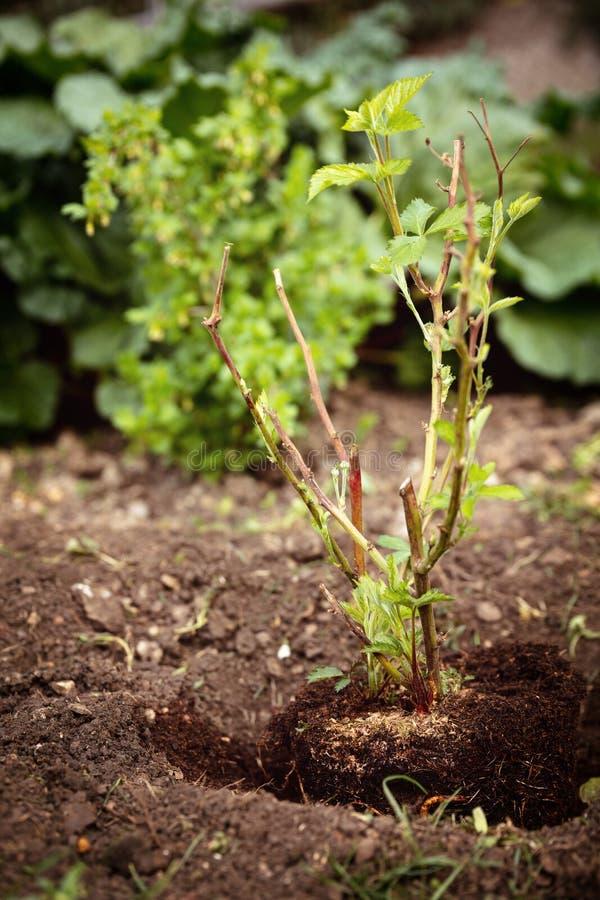 种植一悬钩子属植物fruticosus的年轻的灌木到土壤里,从事园艺和 免版税库存照片