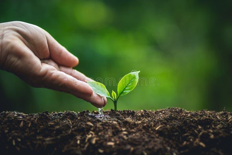 种植一棵树,浇灌小树咖啡树的老手 免版税库存图片