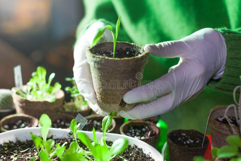 种植不育的情况的人一棵婴孩植物播种在椰子罐 库存图片
