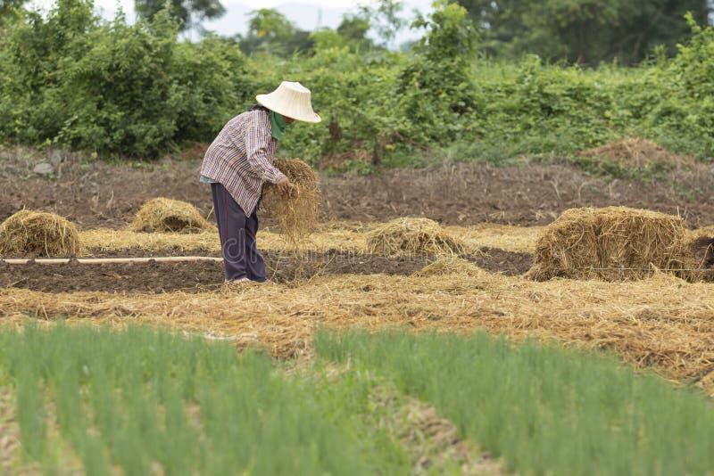 种植与干燥米秸杆的泰国农夫有机菜 免版税库存照片