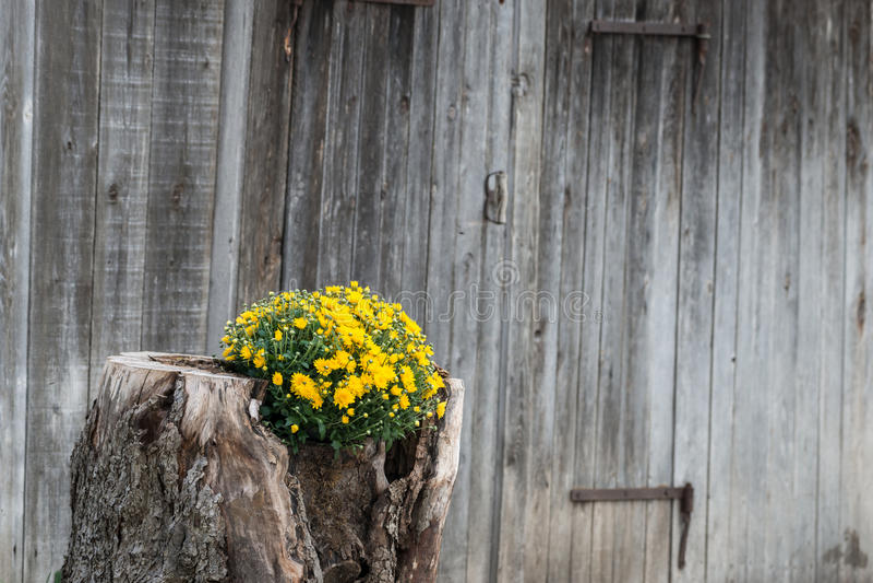 种植与木墙壁的树桩黄色花 库存图片