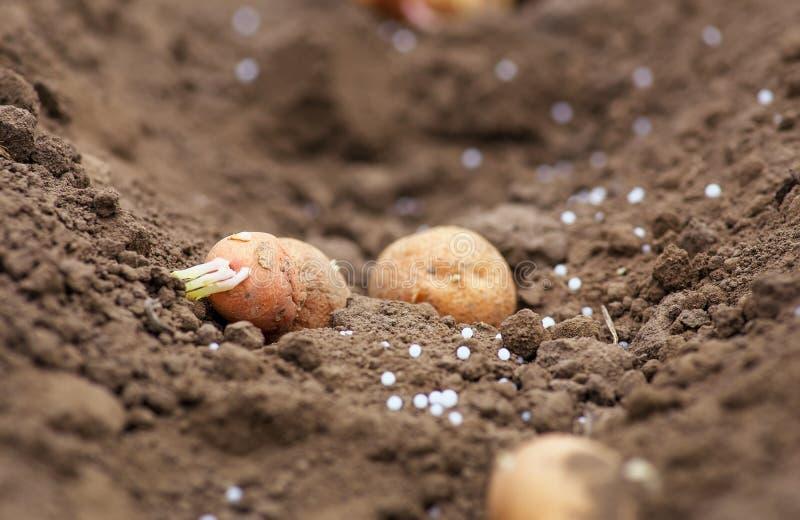 种植到地面的土豆肿胀 库存照片