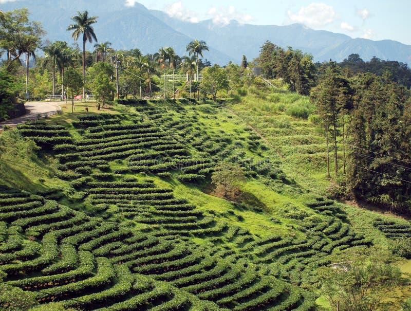 种植园南部的台湾茶 库存图片