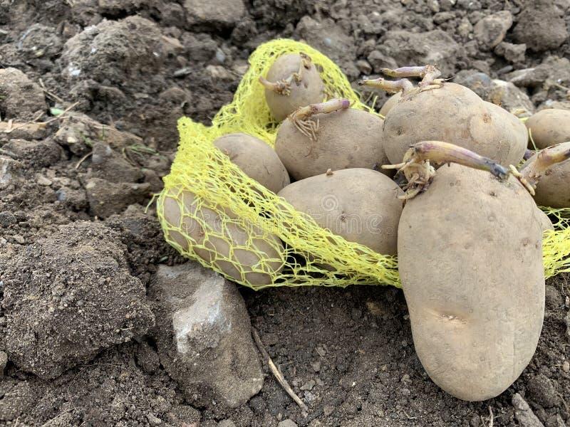 种植园景的马铃薯 库存照片