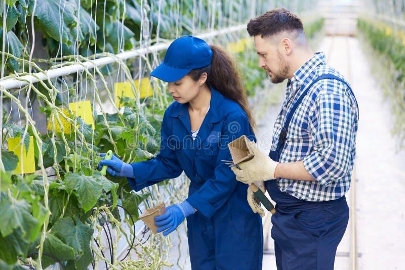 种植园的农厂工人 库存图片