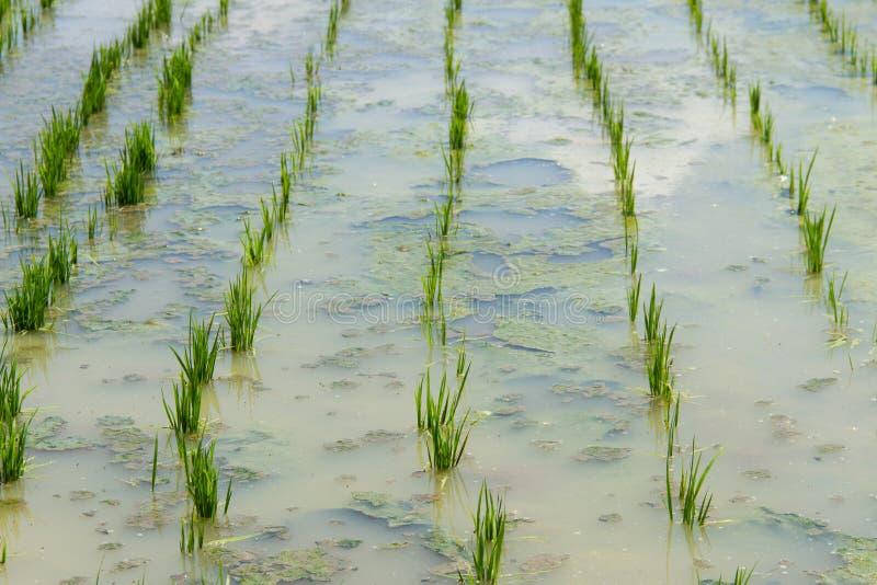 种植园米幼木 库存照片