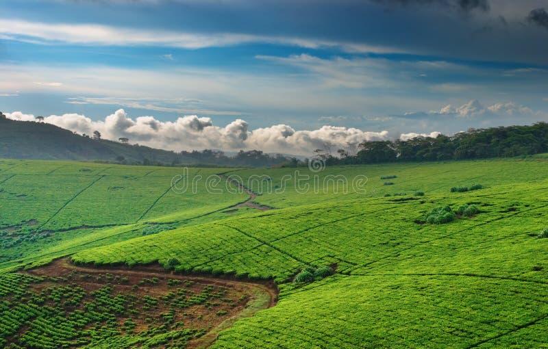 种植园茶乌干达 免版税库存图片