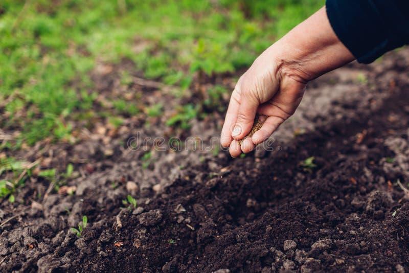 种植在土壤的农夫的手一颗种子 资深妇女播种荷兰芹在春天庭院里 库存照片