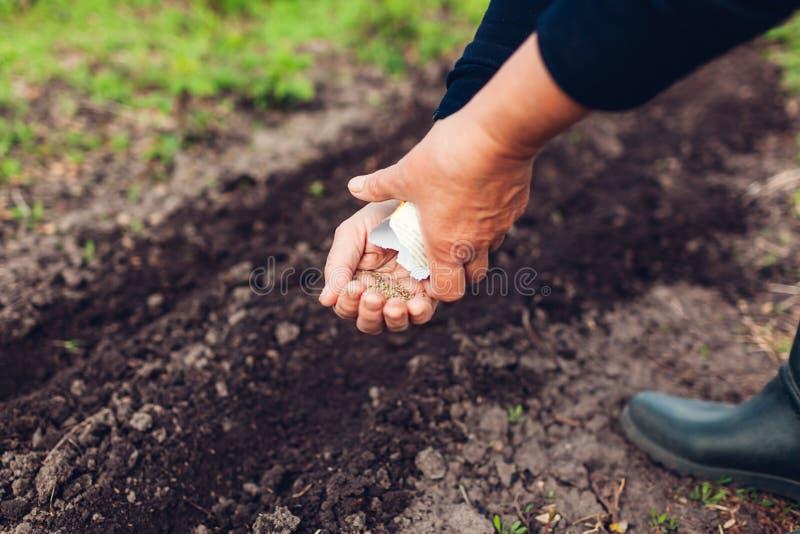 种植在土壤的农夫的手一颗种子 资深妇女播种荷兰芹在春天庭院里 免版税库存图片